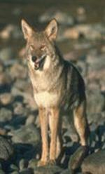Coyote standing on rocks