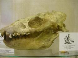 Allodesmus skull and jaws on display