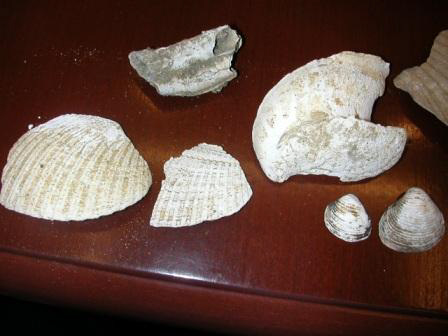 Niguel Formation Fossils 3