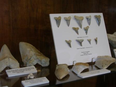 Shark Teeth 2